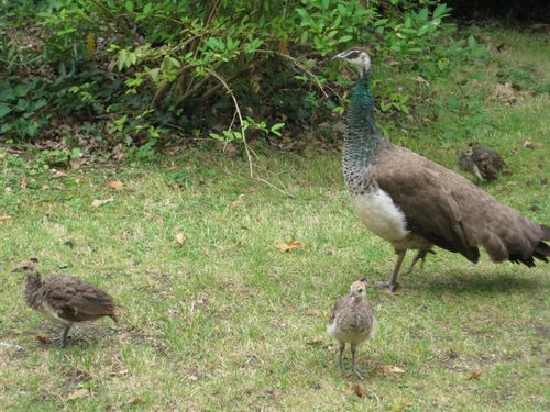 Bagatelle - peahen and chicks